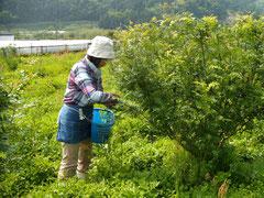山椒の収穫