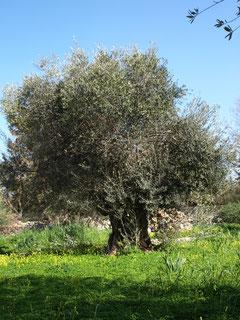 Oliventre – mellom himmel & jord