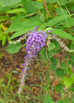 Buddleia davidii sauvage en fleurs