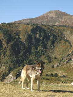 Loup ou chien-loup ?