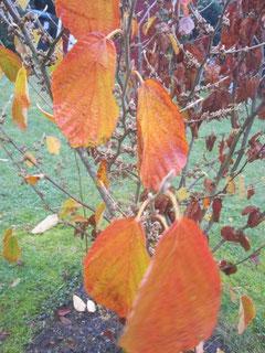 Letzte glühende Blätter der Zaubernuss