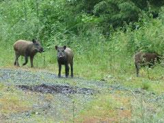 Noch harmlose Wildschweine