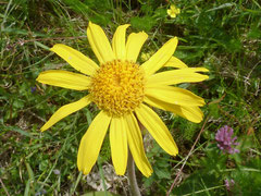 Geschützt: Arnica montana