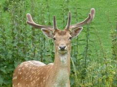 Ein Dam-Hirsch