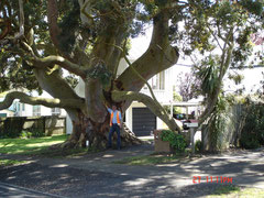 Angophora costata at Westharbour, Auckland, NZ