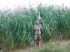 "Miscanthus x ""Giganteus"" Bio Energy crop nursery development and management"