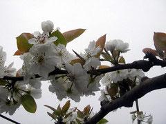 多摩川 ナシの花