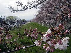 多摩川 多摩大橋付近 桜