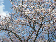 大寧寺の桜名所は5分咲き程度