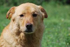 Straßenhund mit Ohrmarke