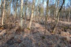 Große Teile der Parzelle im Dätgener Moor werden von Birkenbruchwald eingenommen.