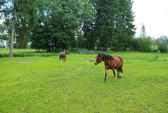 Unsere Ponys Banja und Enrico