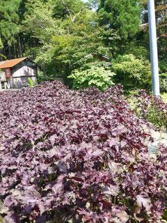 平良の紫蘇