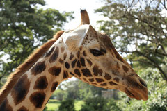 Girafe au centre de conservation des girafes de Rotschild