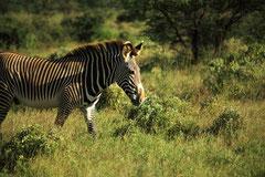 Zèbre dans la Solio Game Reserve