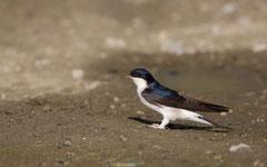 Mehlschwalbe Foto: H. Glader