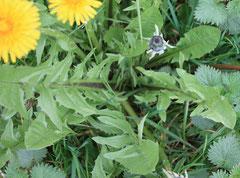 Pissenlit - Plante bio-indicatrice