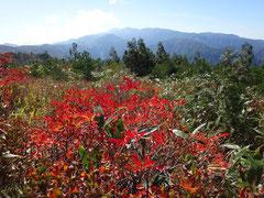 赤く色づいたつつじから白山を眺める。