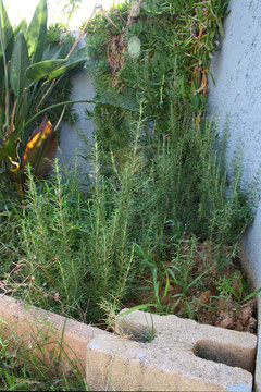 5 Rosmarin auf Kreta/Rosemary on Crete