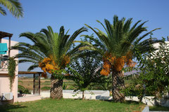 4 Palme in Griechenland/Palm in Greece