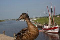 14 Eine Ente guckt/A duck looks