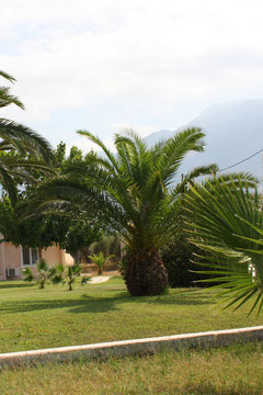 2 Palme in Griechenland/Palm in Greece