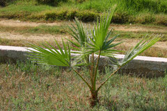 3 Palme in Griechenland/Palm in Greece