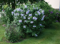 71 Flieder/Common lilac