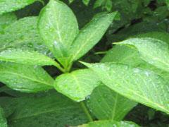 恵みの雨に葉っぱたち大喜び*
