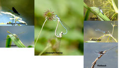 Libellen Baggersee Fotos. K-H Kuhn