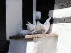Wartburg, weiße Tauben