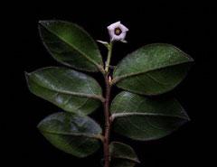 アフリカンツリー太古の森のミスト 自己認識の木 ブラックバーク