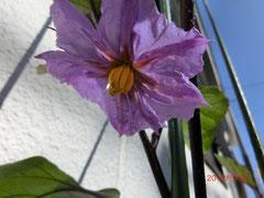 *茄子の花♪ 綺麗な紫色です♡