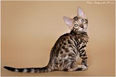 Бенгальские котята питомника LAMPARTY