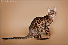 Бенгальский кот Эклер