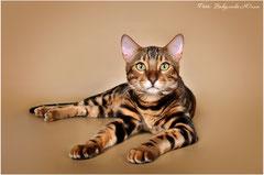 Мраморный бенгальский кот