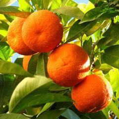 Зима в Хорватии. Мандарины, апельсины в Хорватии