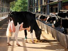 Kuh auf dem Futtertisch