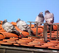 viele Tauben sitzen auf einem Dach