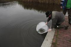 Thorsten Wieck beim vorsichtigen Einsetzen von Zandernachwuchs in den Schloßsee