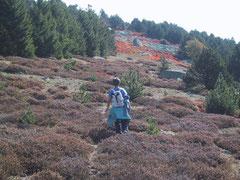 Bruyere et myrtilles sur le Mont Lozère