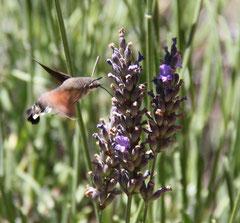 - Papillon-colibri sur fleurs de lavande