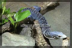 1.0 Varanus macraei mit einer schönen blauen Färbung