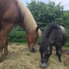 Gut versorgte, gesunde Pferde - mit Heu von oberbergischen Magerwiesen. (Foto: L. Manz)