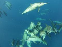 野生のイルカと泳ぐ/ハワイ島/イルカスイム