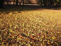 ▲イチョウの落葉