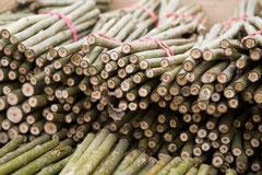 Zig tausend 20 cm lange Stecklinge werden in einer Kurzumtriebsplantage angepflanzt.