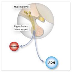 Der Hypophysenhinterlappen enthält keine Drüsenzellen. Hier werden die Hormone ADH und Oxytocin ausgeschüttet.