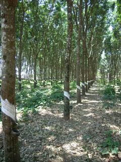 Landwirtschaftliche Hiilfsprojekte: Gummibäume für Farmer