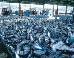 気仙沼市魚市場 (写真提供:宮城県観光課)